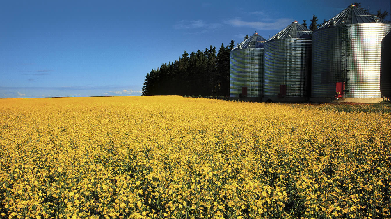 Bunge is a leading canola processor in Canada.