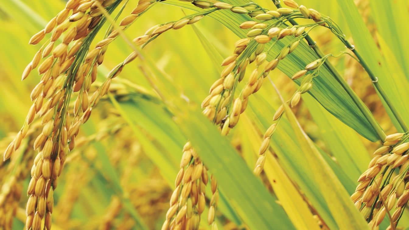 Bunge est propriétaire d'un moulin à riz à Woodland, Californie.