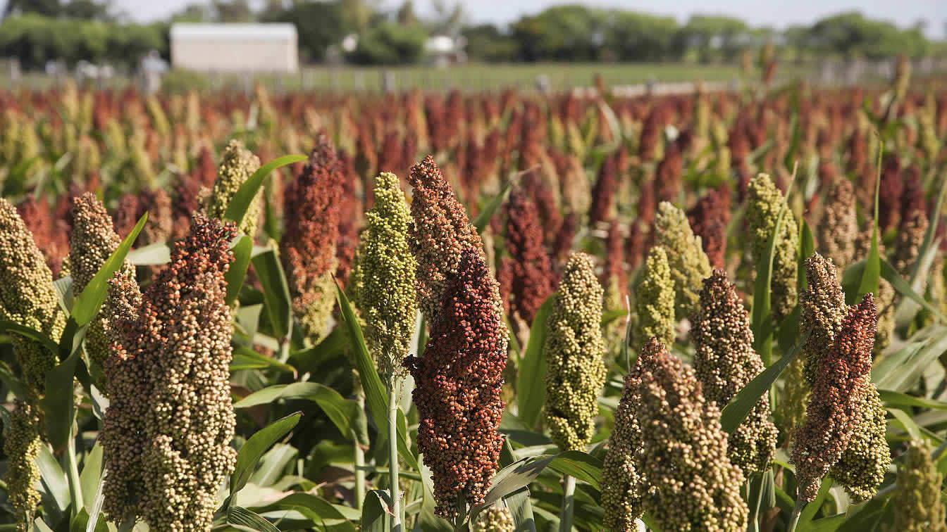 """Sorgho-grain américain est considéré comme un """"grain ancien."""""""